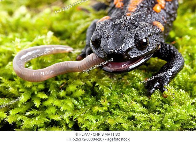 Kweichow Crocodile Newt Tylototriton kweichowensi adult, close-up of head, feeding on earthworm captive