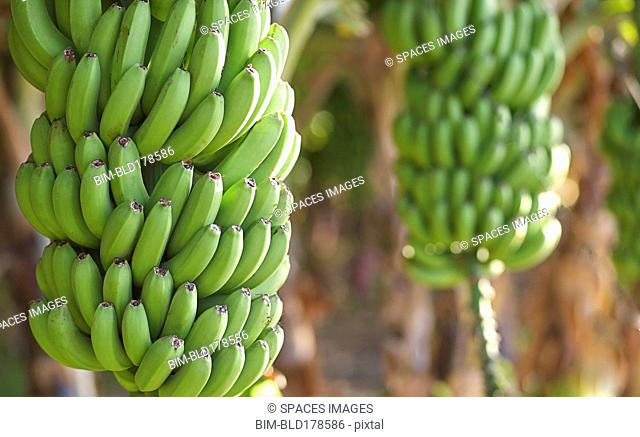 Close up of bananas growing on tree