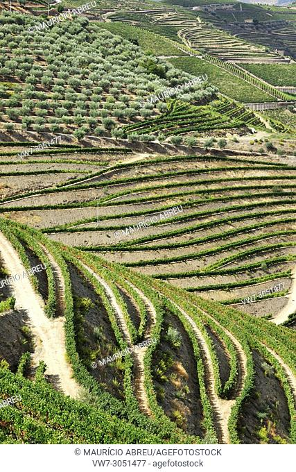 Terraced vineyards along the Douro river during the grapes harvest. Ervedosa do Douro, A Unesco World Heritage Site, Portugal