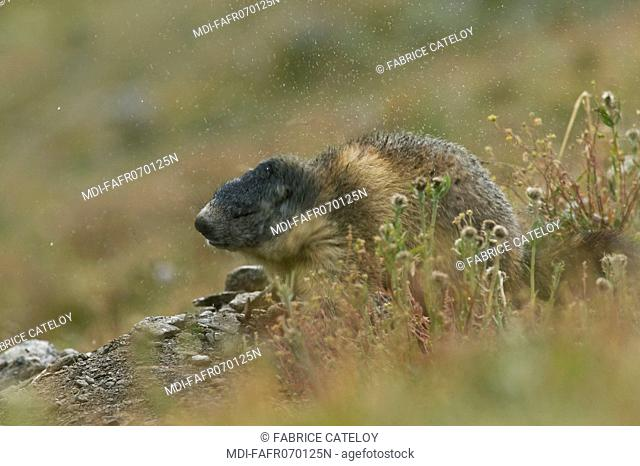 Marmot shaking off water under rain in the natural regional park of Queyras