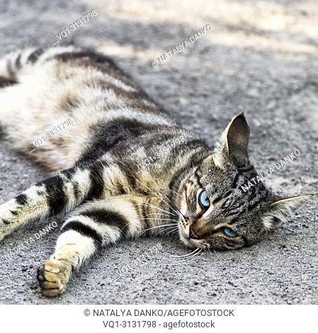 gray striped street cat with blue eyes lies on the asphalt, summer day