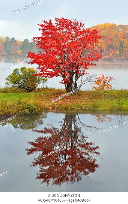 Red maple on the shore of St. Pothier Lake, Greater Sudbury, Ontario, Canada