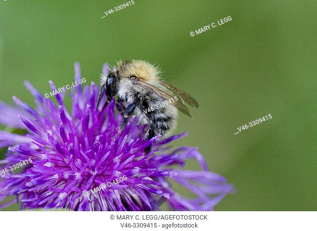 Common Carder Bee, Bombus pascuurum. Medium sized bee with orange markings. Queen: 15-18mm; female workers: 9-15mm; males :12-14mm