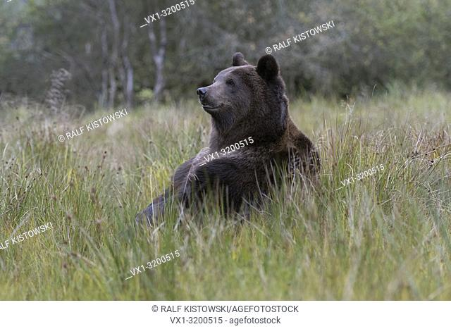 European Brown Bear ( Ursus arctos ) sitting on its butt in high grass of a bog, in funny pose, cute.