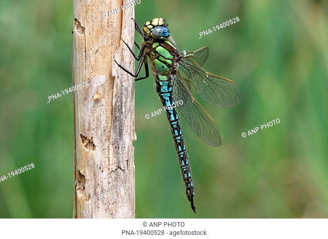 Hairy Dragonfly Brachytron pratense - Tubbergen, Twente, Overijssel, The Netherlands, Holland, Europe