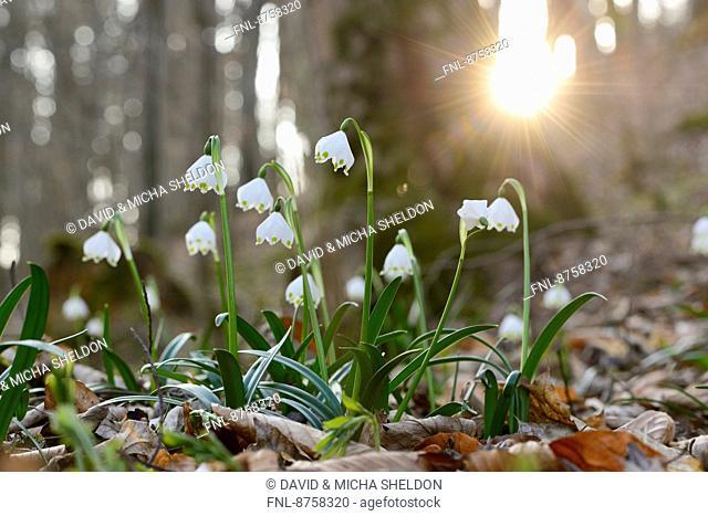 Spring Snowflakes, Leucojum vernum, in forest, Upper Palatinate, Bavaria, Germany, Europe