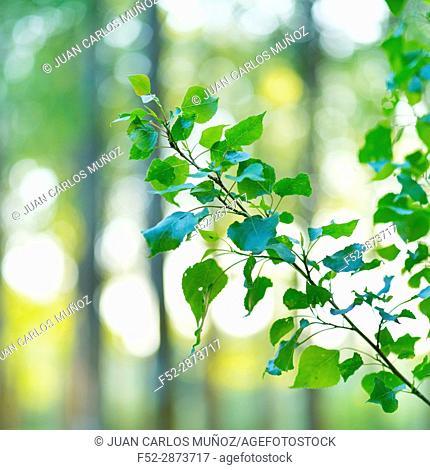 POPULUS - CHOPO (Populus nigra), Escalona, Toledo, Castilla - La Mancha, Spain, Europe