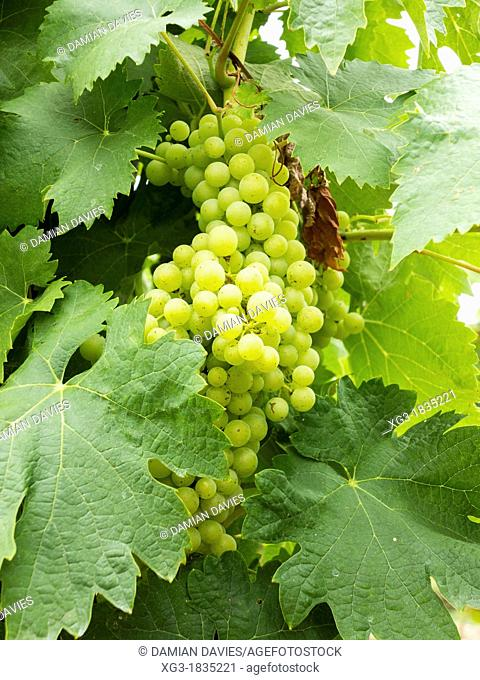 Vines and grapes at Polignac, France producing Armagnac and Côtes de Gascogne white wine, Gers, Midi Pyrenees, France