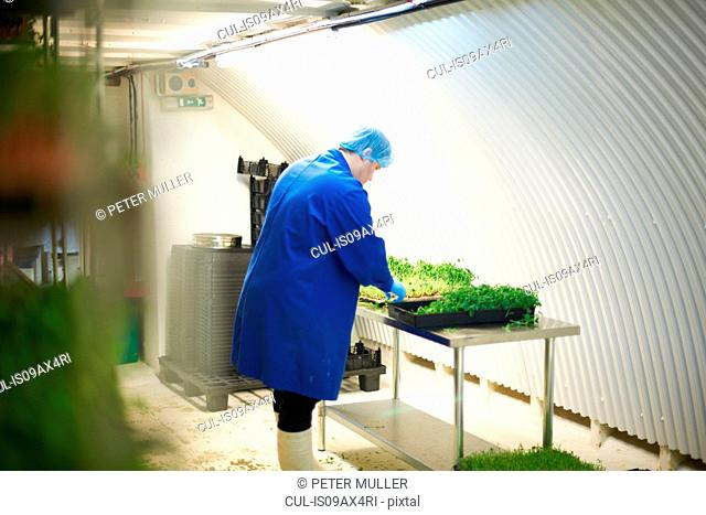 Side view of worker wearing hair net and latex gloves quality checking freshly grown vegetables