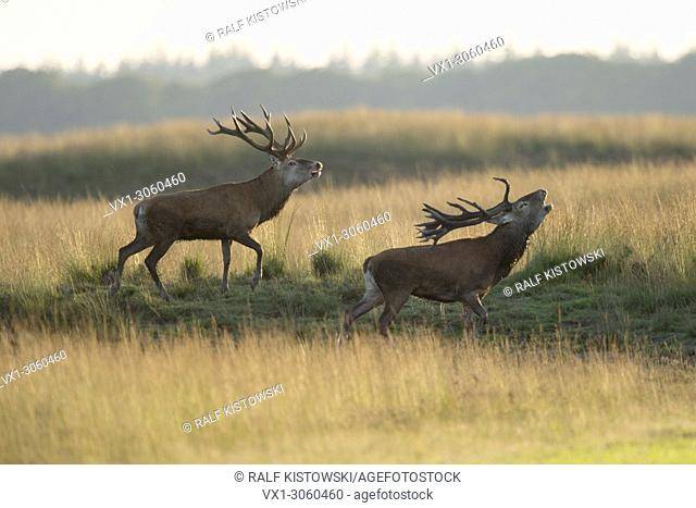 Rival Stags / Red Deer ( Cervus elaphus ) challenge opponents by belling and walking in parallel, Europe