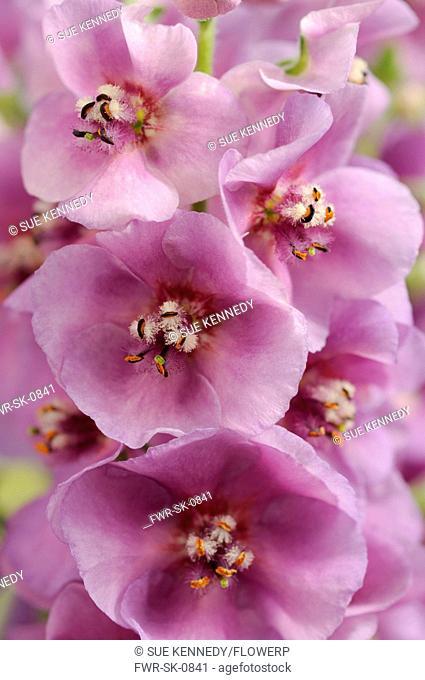 Verbascum 'Sugar Plum', Verbascum, Mullein, Purple subject