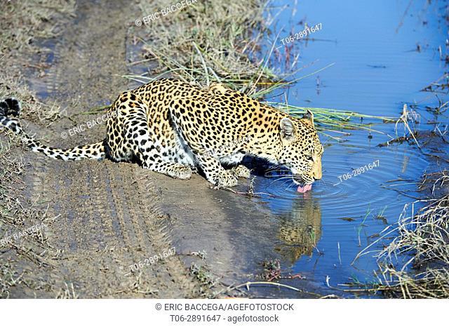 African leopard female (Panthera pardus) drinking. Moremi National Park, Okavango delta, Botswana, Southern Africa