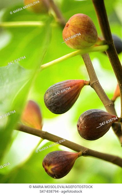 Fig Fruits Ripening on a Tree. Ficus carica