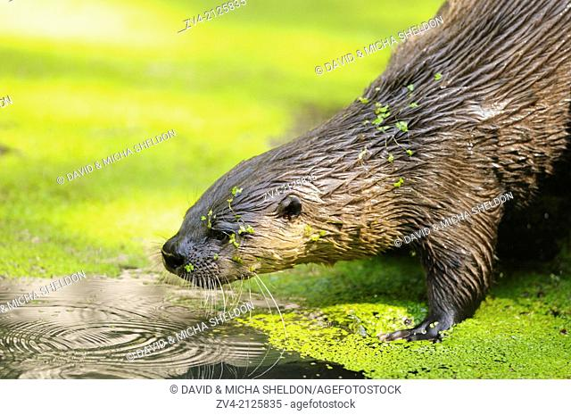 Close-up of a North American river otter (Lontra canadensis) at the shore of a lake, Germany, Europe