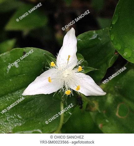 A three petals white flower in Prado del Rey, Sierra de Cadiz, Andalusia, Spain