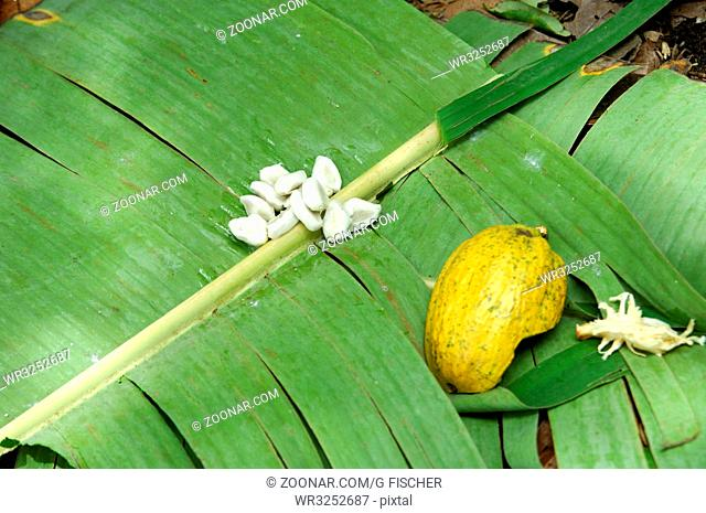 Kakaobohnen in weissem Pulp auf Bananenblättern zur Fermentierung, Schale einer reifen Kakaofrucht, Mampong; Ghana / Cocoa beans, Theobroma cacao