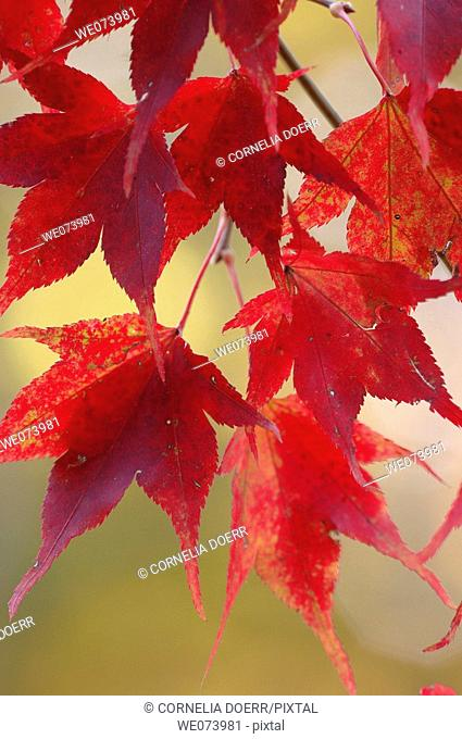 Maple Leaves in autumn, Saxony, Germany