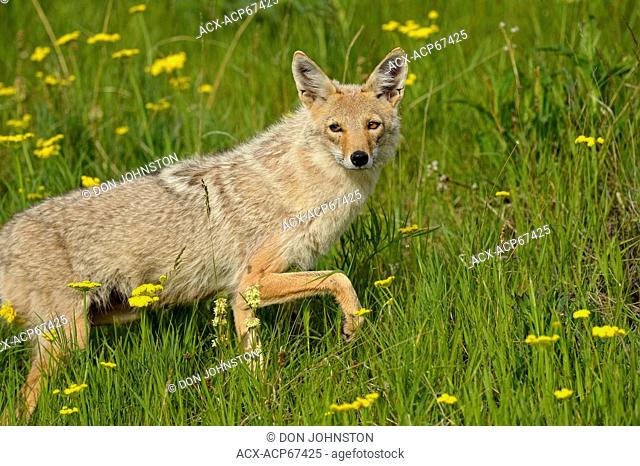 Coyote (Canis latrans) Trotting through flower meadow near park road, Glacier National Park, Montana, USA