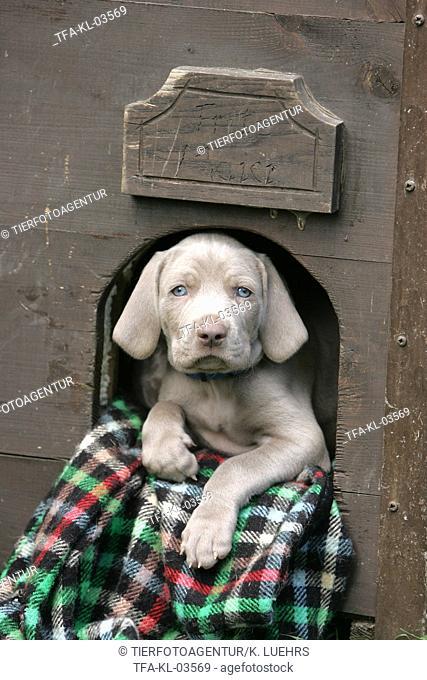 Weimaraner puppy