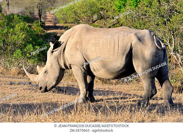 White rhinoceros or Square-lipped rhinoceros (Ceratotherium simum), adult male standing, motionless, Kruger National Park, South Africa, Africa