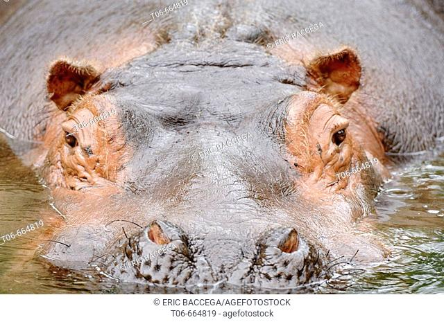 Close-up on a hippopotamus face surfacing (Hippopotamus amphibius) red list of endangered species