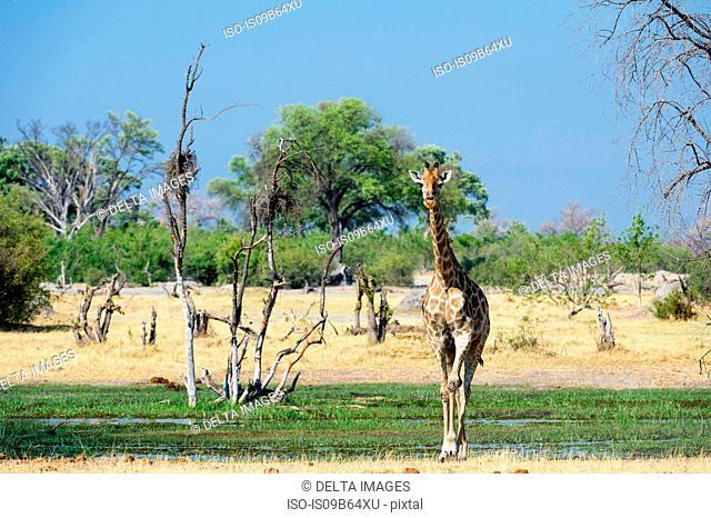 A Southern Giraffe (Giraffa camelopardalis) walking in the Okavango Delta, Botswana, Africa