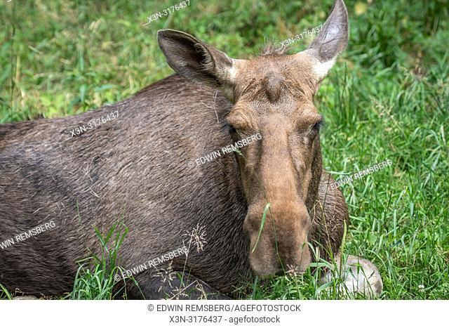 A Polish moose (Alces alces )Bialowieza, Poland