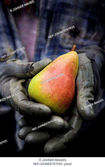 Hands in gloves holding a pear, Sweden