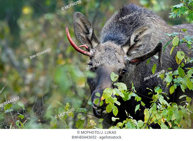 elk, European moose (Alces alces alces), eating moose with newly formed antler in the scrub, Sweden, Vaestergoetland