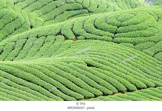 Complex landform full of tea trees