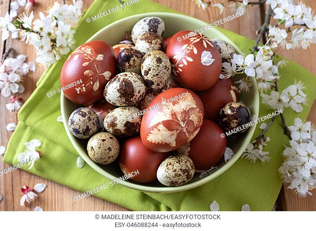 Quail and Easter eggs dyed with onion peels with a pattern of fresh herbs in a bowl, with cherry blossoms