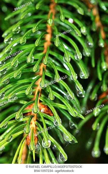 Pine needles with water droplets. Osseja, Languedoc-Roussillon, Pyrenees Orientales, France