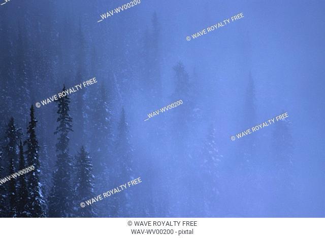 Snowy Evergreen Trees