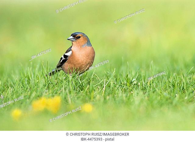 Common chaffinch (Fringilla coelebs) in meadow, National Park Lake Neusiedl, Burgenland, Austria