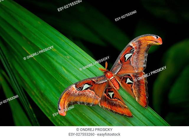 Beautiful big butterfly, Giant Atlas Moth, Attacus atlas