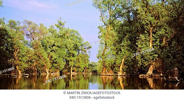 Panorama of Channel in the Danube Delta, romania  Big willows, alder and ash trees from a riparian forest along the cahnnels  Only during September large parts...