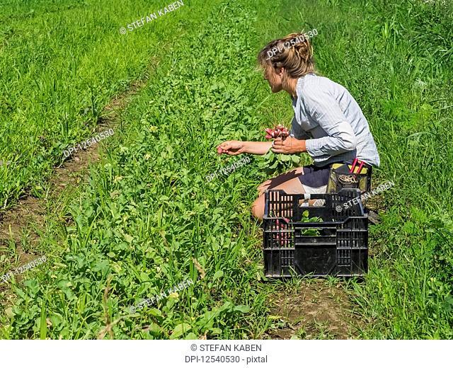 Woman harvesting radishes, Prince George County; Upper Marlboro, Maryland, United States of America