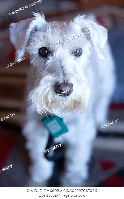A white miniature schnauzer has a very special appeal