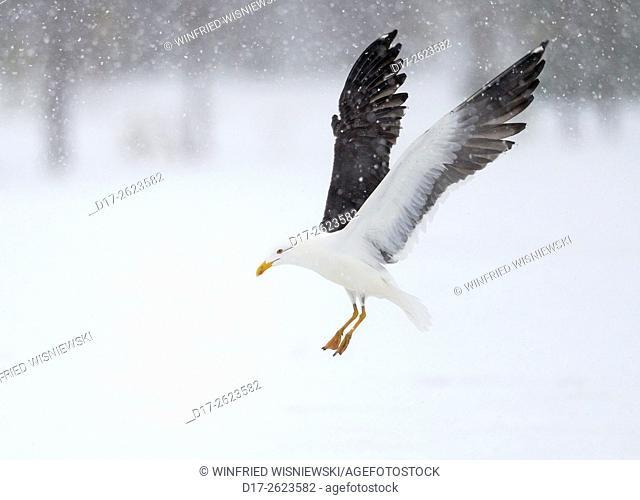 Flying lesser black-backed gull (Larus fuscus) in blowing snow. Subspecies Larus f. fuscus. Oulu, Finland