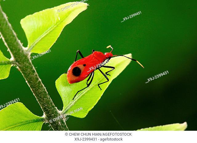 Boxelder Bug, true bug, borneo