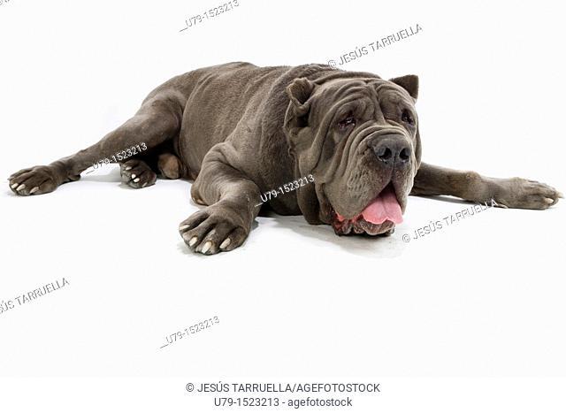 Neapolitan Mastiff Portrait of lying