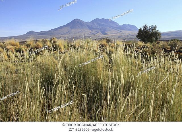 Chile, Antofagasta Region, Atacama Desert, desert; flora, vegetation,
