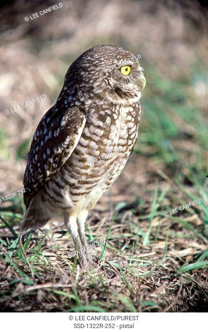 Close-up of a Burrowing Owl in a field