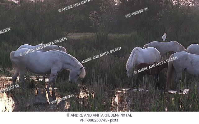 Camargue Horse (Equus caballus) standing in high grass during morning mist