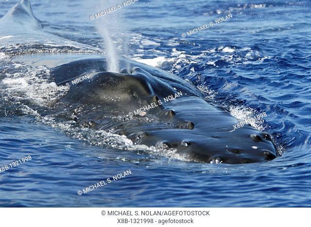 Adult humpback whale Megaptera novaeangliae surfacing head/rostrum/splashguard details in the AuAu Channel, Maui, Hawaii, USA  Pacific Ocean