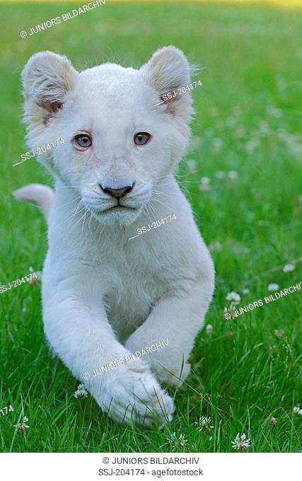 White Lion (Panthera leo). Cub walking on a meadow. Stukenbrock Safari Park, Germany