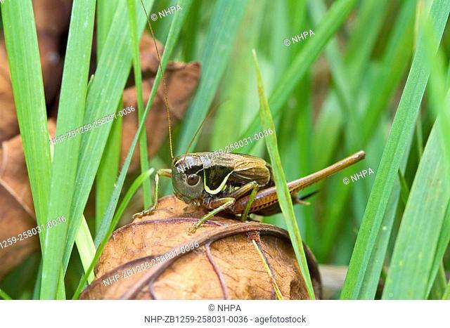 Male Roesel's Bush-cricket (Metrioptera roeselii) Brockley cemetery,Lewisham September 2013