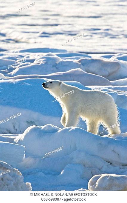 Polar bear Ursus maritimus on multi-year ice floes in the Barents Sea off the eastern coast of Edgeøya Edge Island in the Svalbard Archipelago, Norway