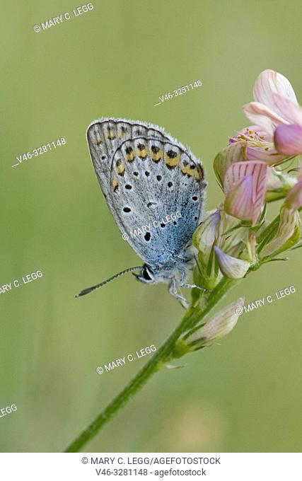 Idas Blue, Plebejus idas, on Sainfoin, Onobrychis. Lycaeides idas. Blue butterfly with blue eyespots on the upper edge back wing