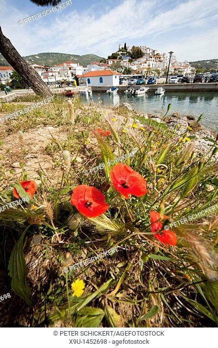 poppy flowers on Bourtzi peninsula, Skiathos Town, Skiathos Island, Northern Sporades, Greece